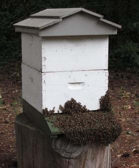 BeeBeard